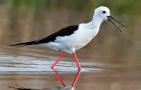 水鸟模特黑翅长脚鹬