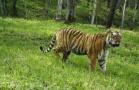 东北虎豹国家公园连发两起野生东北豹袭羊事件