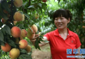 """洛阳市宜阳县上观乡:""""甜蜜产业""""助增收"""