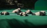 """12只熊猫宝宝举行""""音乐会"""""""