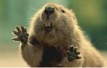 饲养网红萌宠土拨鼠要当心!咬伤后或被传染鼠疫