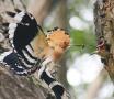 浑河生态改善水清林茂 国家二级保护动物戴胜鸟来安家