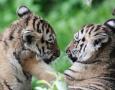 双胞胎小老虎真可爱