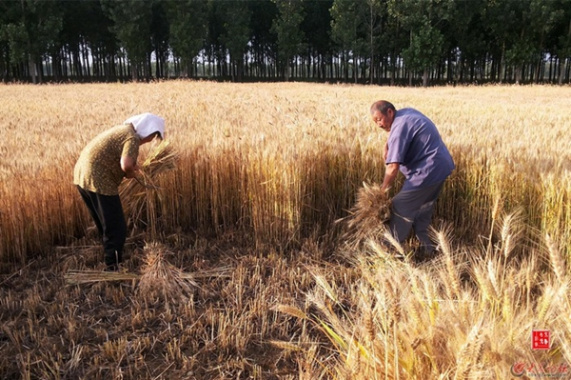 麦子熟了!这是枣庄丰收的场景!