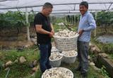 葡萄架下套种大蒜 改良土壤还能杀菌防虫