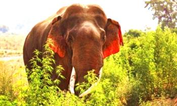 娇羞!大象现红耳朵