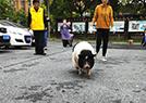 宠物小香猪越狱