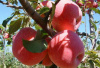 郑商所调整苹果期货合约交易手续费并发布风险提示