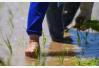 青岛海水稻全国试种 亿亩盐碱地将变粮仓
