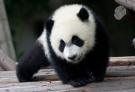 孔雀朝大熊猫挑衅了?
