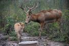 重归故土33周年 麋鹿争当北京冬奥会吉祥物