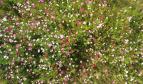 郑州植物园的格桑花开成了花海